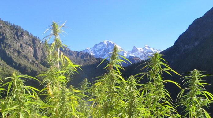 Hawaii Medical Marijuana