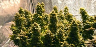 Aurora cannabis continues to grow like a weed