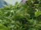 Feds take over marijuana-growing charges against Coffee County farmer
