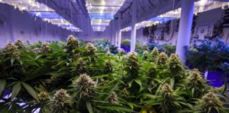 Study Says Cannabis Helps HIV Patients Maintain Cognitive Function